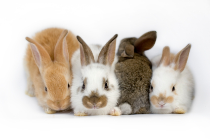group-of-rabbits