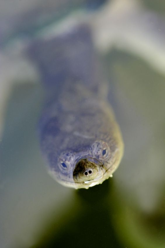 long necked turtle 1